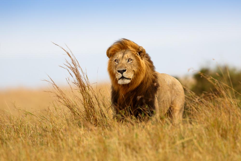kenya lion